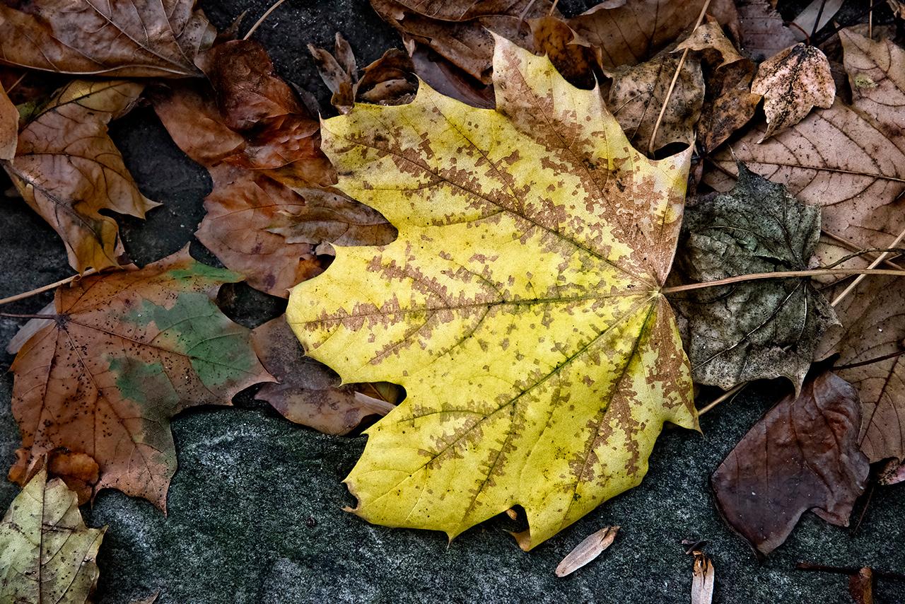 Yellow Leaf, Rocks, Leaves