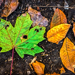 One Green Leaf, Ten Orange Leaves