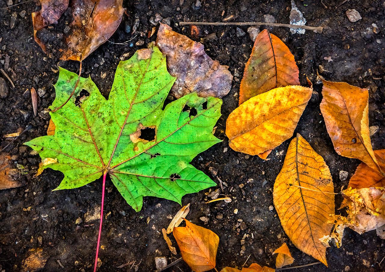 One Green Leaf, Ten Orange Leaves
