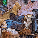 Black Leaf, Layers of Leaves,