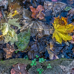 Leaves on Water, Log
