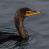 Double Crested Cormorant, Morro Bay, California March 2017.