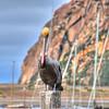 morro bay pelican_3734