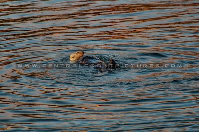 morro bay otter 3510