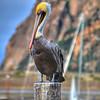 morro pelican_3743