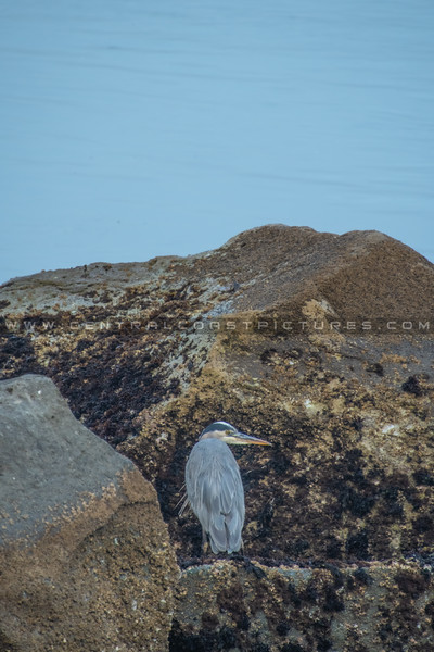 morro bay heron 7870