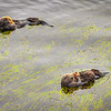otters 0428-