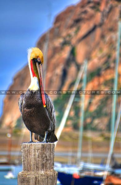 morro_bay_pelican_3738-edited