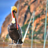 morro_bay_pelican_3738-edited