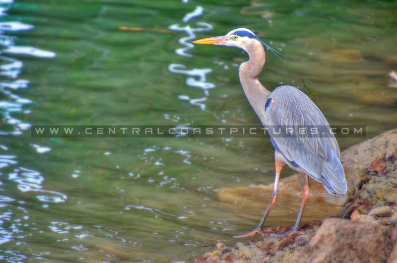 blue heron_3771