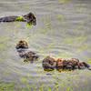 otters 0452-