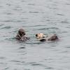 morro bay otters 3414