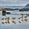 morro bay birds 6993-