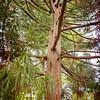 2017 September 27 Pine Tree
