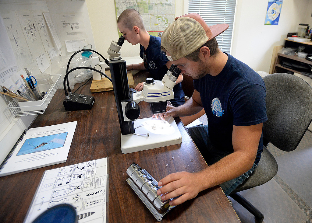 . Surveillance manager Braden Carey, front, and surveillance technician Maggie Schnettler, back, use  microscopes to look at and count different species of mosquitos on Thursday, June 7, 2018, at Vector Disease Control International\'s downtown Loveland office. The mosquitos were trapped in northern Colorado.  (Photo by Jenny Sparks/Loveland Reporter-Herald)