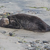 Sea otter sleeping on the beach, don't worry, it's alive