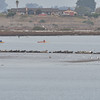 Harbor seals, all lined up