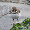Plover (Semipalmated?)