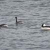 A couple of Western Grebes and a Bufflehead duck