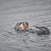 Sea otter, peek-a-boo!