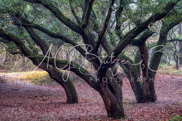 The Dance of the Live Oaks