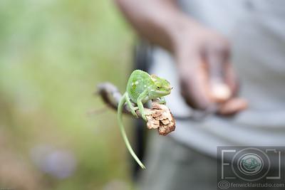 The Chamelion - Usambara Mountians - Tanzania