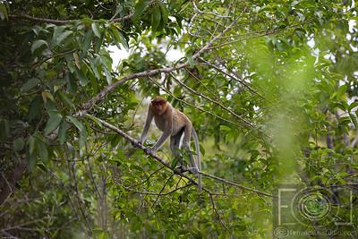 A Female Probocosis Monkey - Ohong Creek - Kalimantan