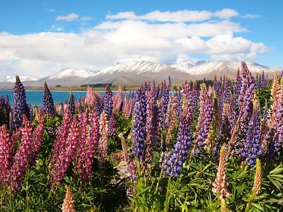Lupins at Lake Tekapo in New Zealand