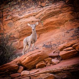 Baby Deer, Zion National Park