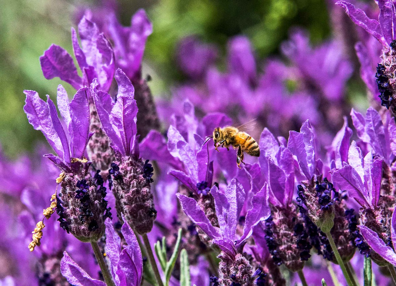 Honey Bee in a Field of Lavender