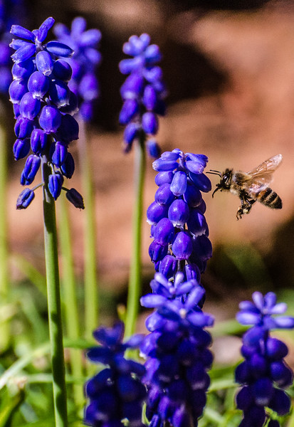 Honey Bee and BlueBells