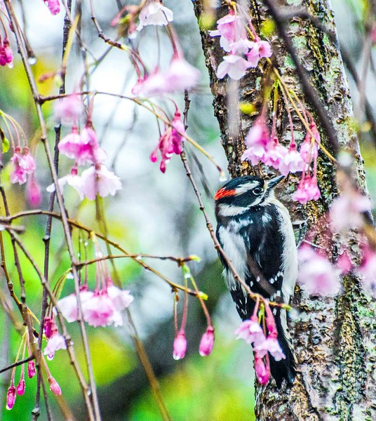 Male Downey Woodpecker Among Higan Cherry Tree Blossoms