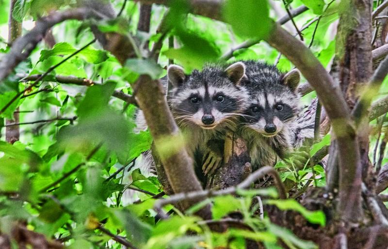 Tree Hobbits