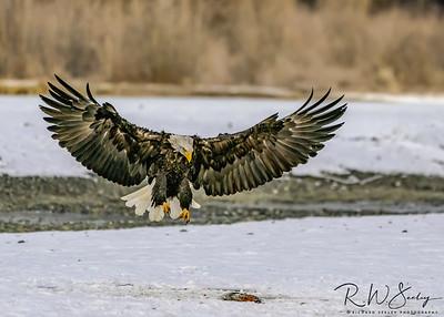 Bald Eagle Parachutes Onto Prey