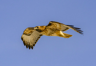 Red-Tailed hawk In Glide #105