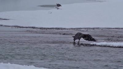 Salmon Fishing on the Chilkat
