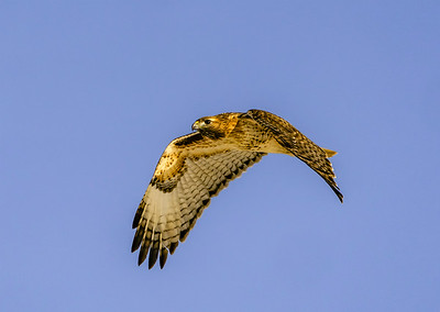 Red-Tailed Hawk Wings Down #102