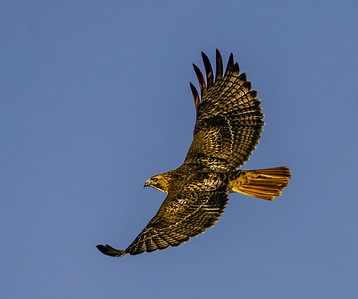 Red-Tailed Hawk Soaring #106