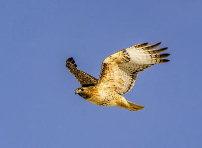 Red-Tailed Hawk Wings Up #101
