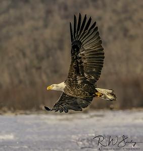 Bald Eagle in Flight #102