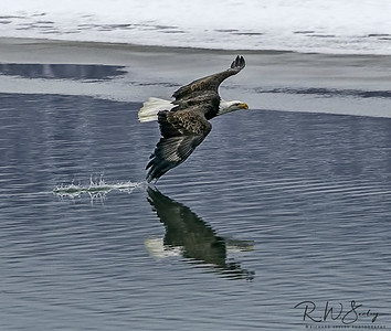 Bald Eagle Drags Wing Tip Across Water Surface