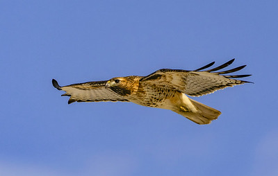 Red-Tailed Hawk In Glide  #104