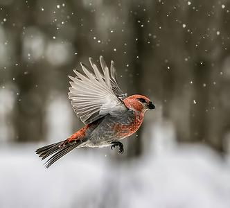 Pine Grosbeak Wings Up