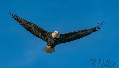 Bald Eagle in Fliight #106