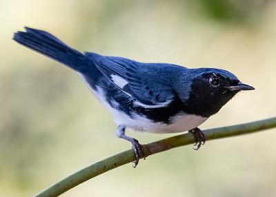 Bijirita Azul de Garganta Negra_Dendroica caerulensces_Palpite_CZ_110119_A3A0361