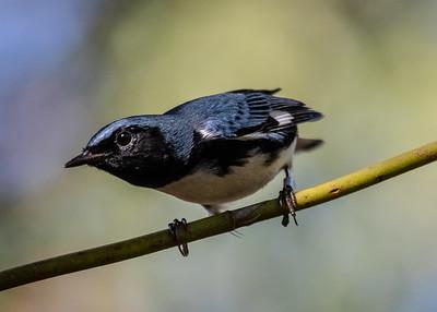 Bijirita Azul de Garganta Negra_Dendroica caerulensces_Palpite_CZ_110119_A3A9854