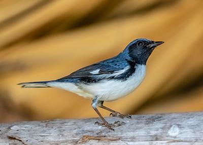 Bijirita Azul de Garganta Negra_Dendroica caerulensces_Palpite_CZ_110119_A3A0234