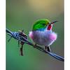 Todus_multicolor_Topes_Collantes_010318_A3A1960
