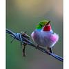 Todus_multicolor_Topes_Collantes_010318_A3A1950