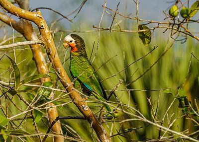 Amazona leucocephala_Ciénega Zapata_270220_DSG1279
